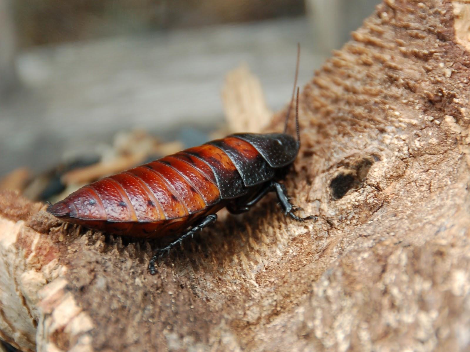 Cockroach Eggs  Orkincom