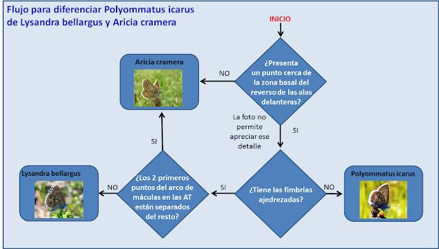 Flujograma diferenciación Lysandra bellargus, Polyommatus icarus, Aricia cramera