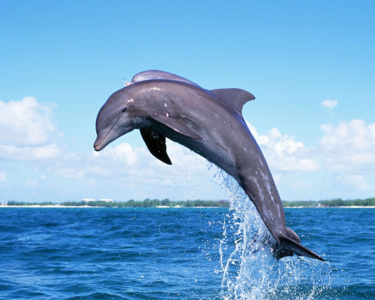 http://beautifulwallpapersfordesktop.blogspot.com/2014/01/dolphin-wallpapers.html