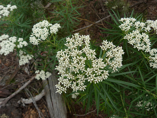 Cassinia longifolia Flor y Hoja