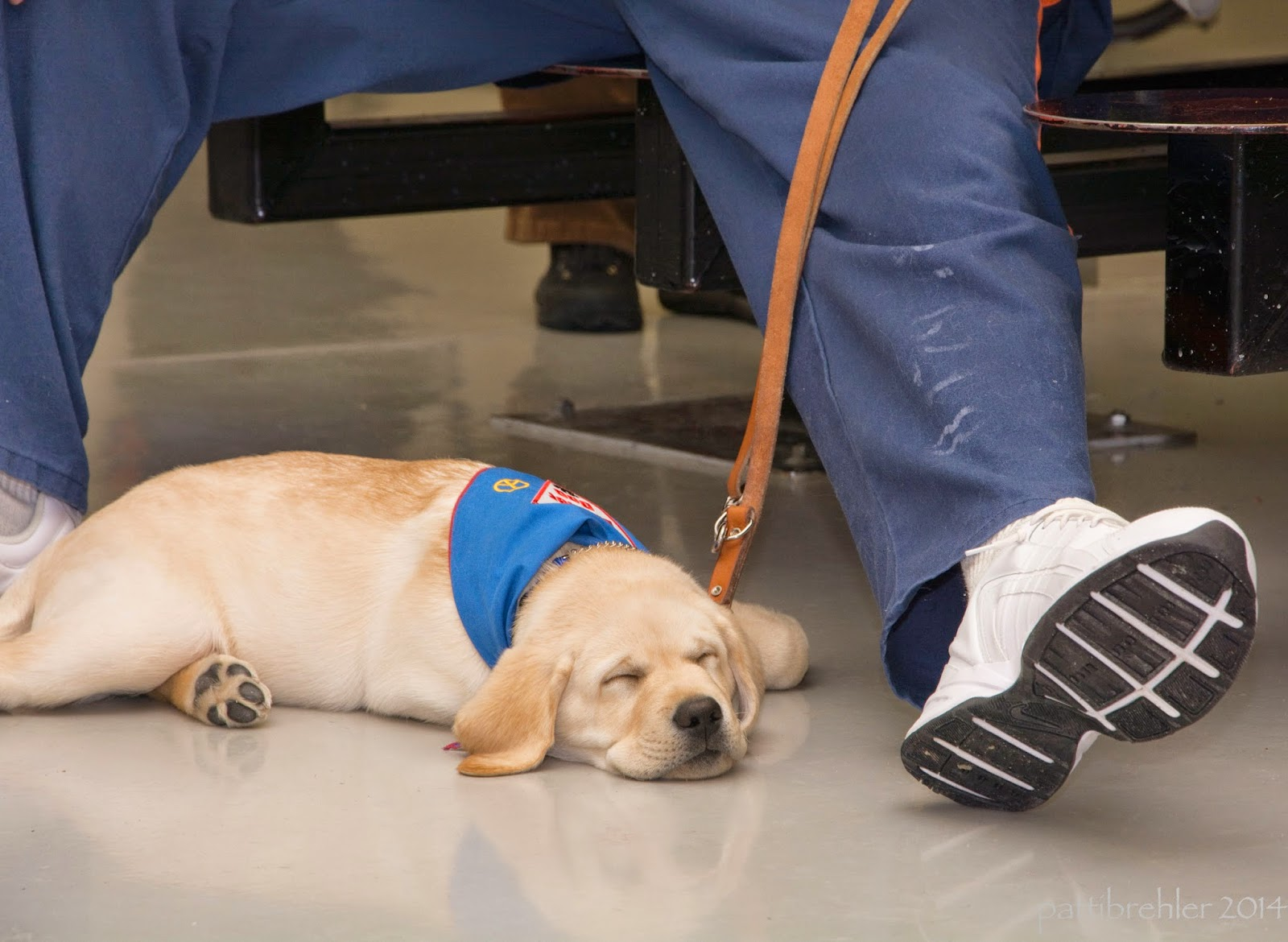The small yellow lab is fast asleep on the tile floor. He is wearing a blue bandana. His leash is being held by a man that is out of the picture, except for his legs. The man's left leg is extended out next to the puppy. The man is wearing blue pants and white tennis shoes.