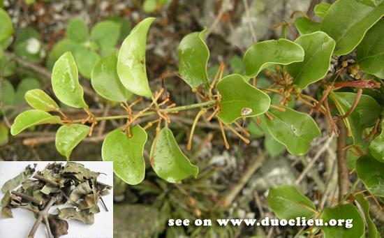 Taxillus chinensis (DC.) Danser (Fam. Loranthaceae)