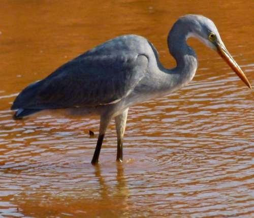 Indian birds - Western reef heron - Egretta gularis