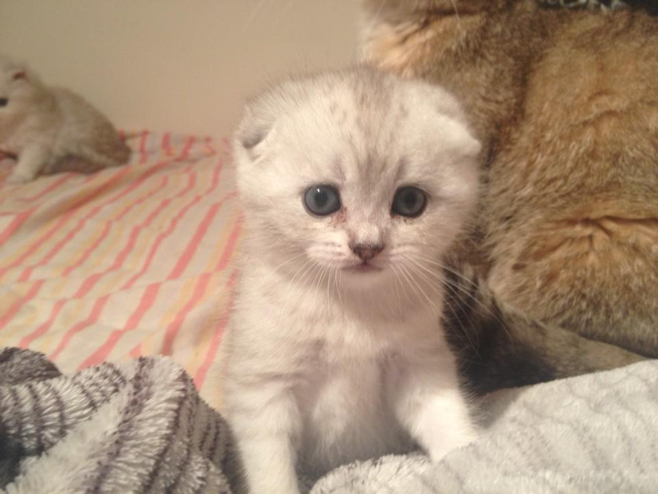 Scottish fold precio chile