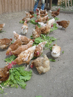 hens+with+mustard+2 Chickens   Wordless Wednesday