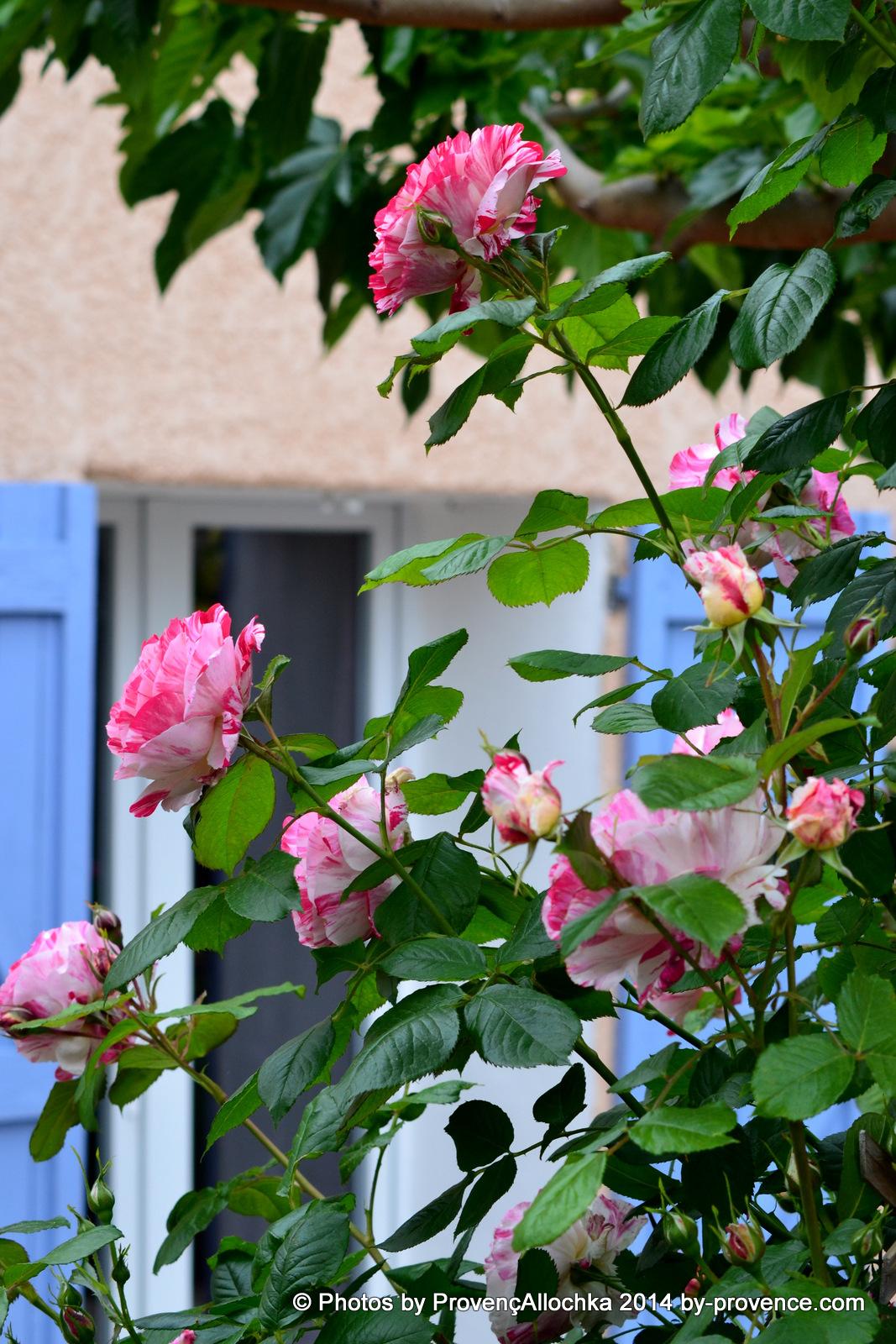 patio,rose,camaieux