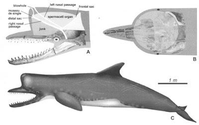 cetacea extinct Zygophyseter