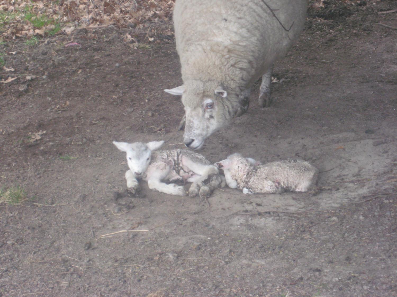 http://4.bp.blogspot.com/-CyF0EFkKn5k/TmRT7uILHgI/AAAAAAAACj0/IGpF1Bmk3sE/s1600/4_9_newbornlambs.jpg