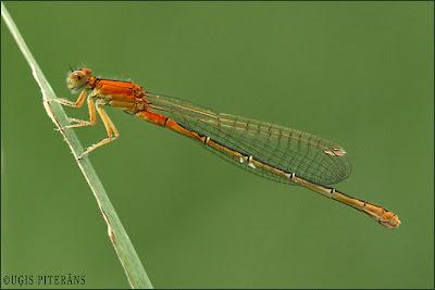 Dienvidu daiļspāre (Ischnura pumilio)