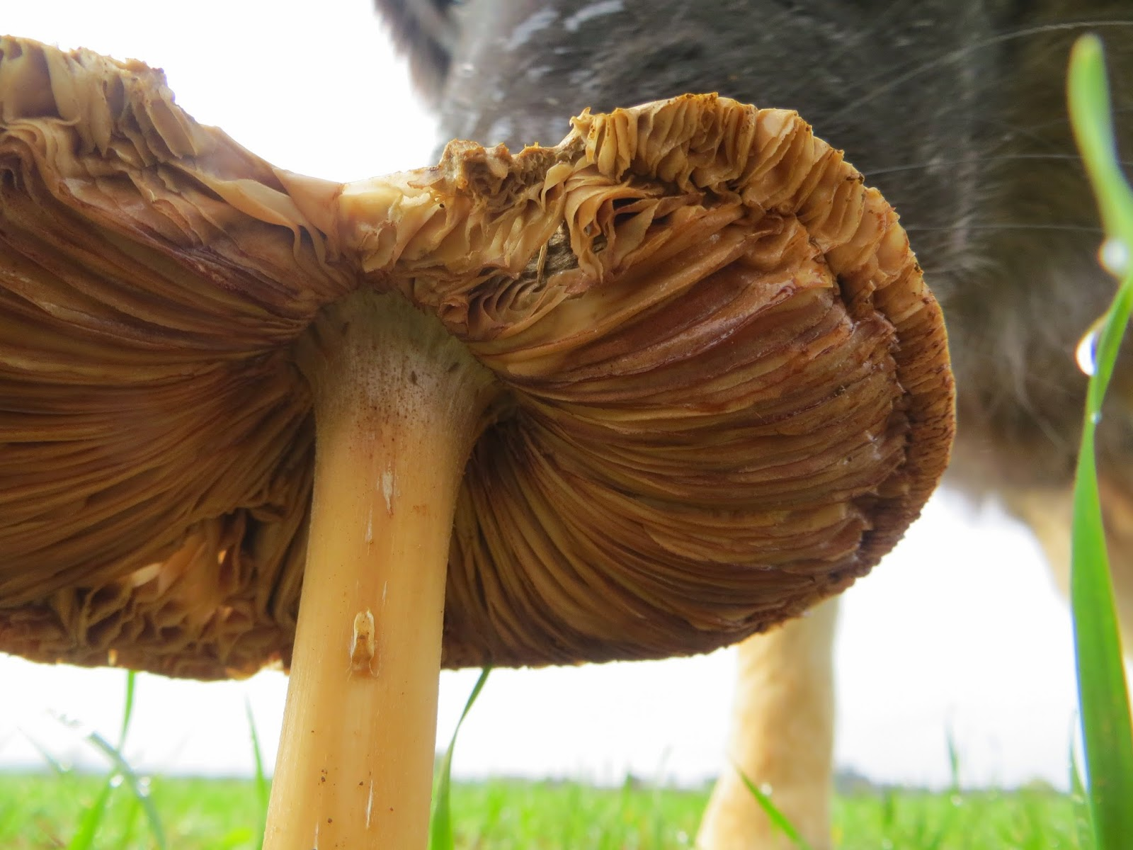mushrooms, poisonous? edible? Trojan, dogs, fields.