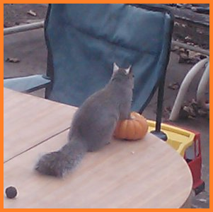 Squirrel with front paws atop a mini pumpkin, at rest.