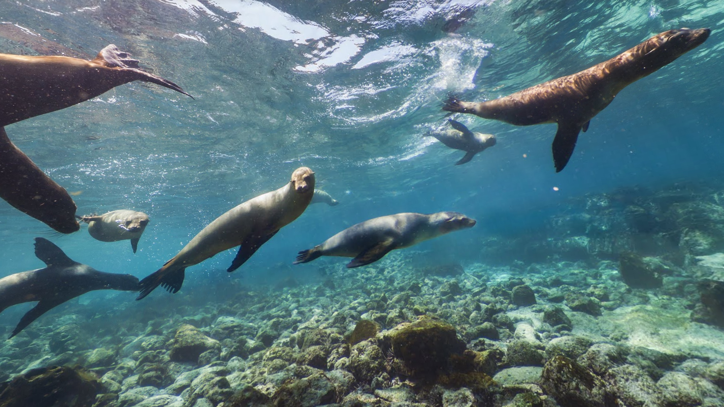 Several sea lions swimming together above the rocky sea floor