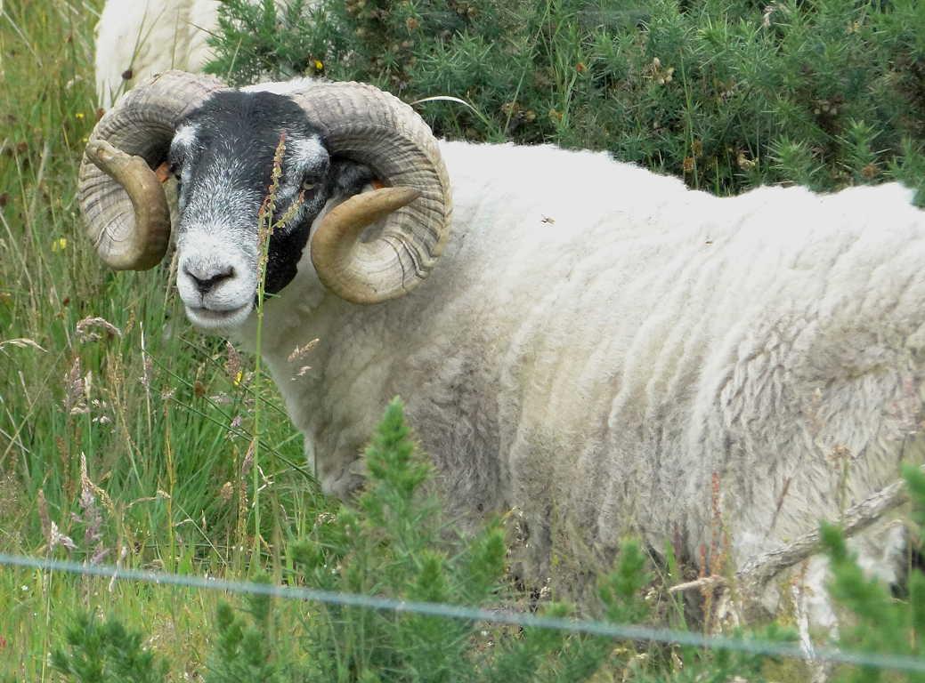 my hebridean blog scottish blackface sheep