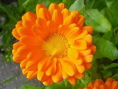 flor de calendula planta medicinal