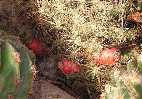 Entre ollas cazuelas y estufones dos frutos del for Feroxcactus chile