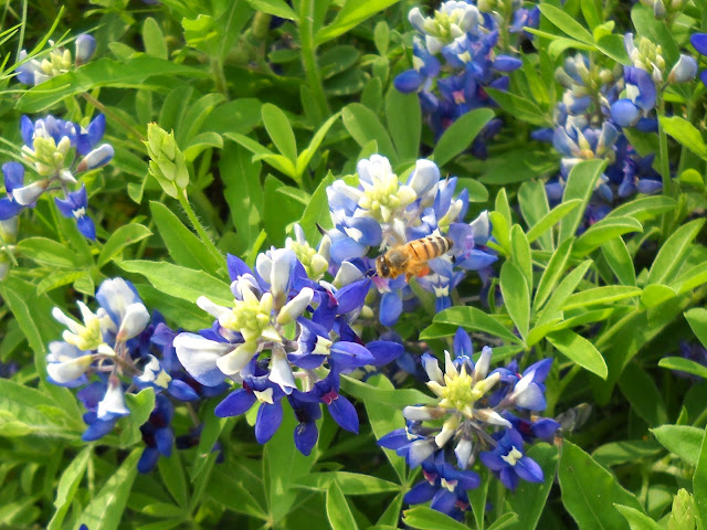 Bluebonnets with a hard-working honey bee at White Rock Lake, Dallas, Texas
