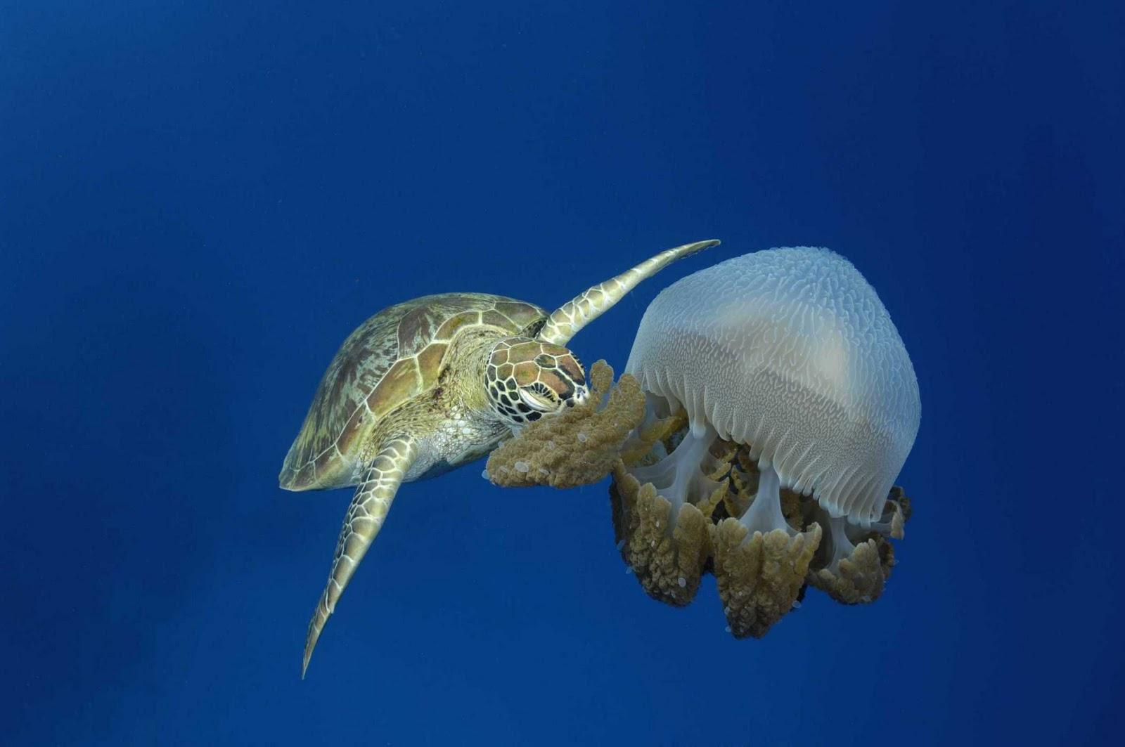 Green Sea Turtles 20