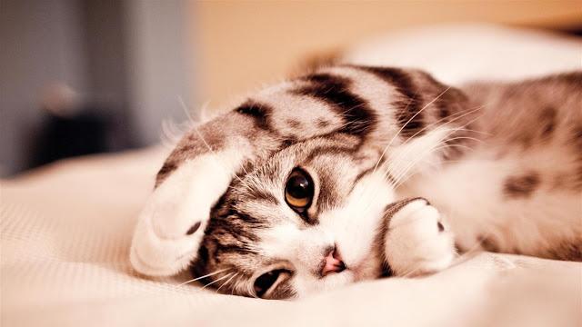 jocuri cu pisici, depresia, animal de companie