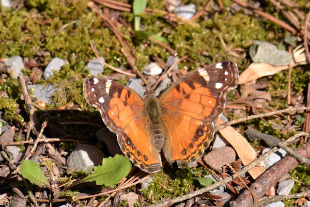 Sunning American Lady Butterfly