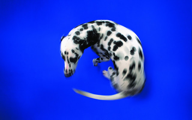 dalmatian, chasing tail, dalmatian photo