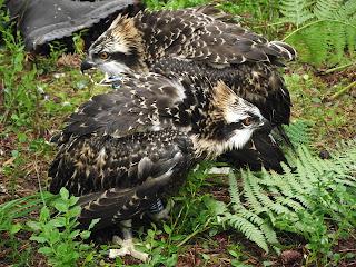 Introducing the 2012 Osprey Chicks - Tony & Tia Maria