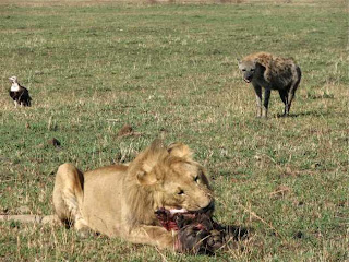 Lion eating hyenas in ground