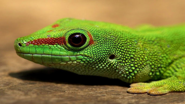 Lizard HD Wallpaper 3