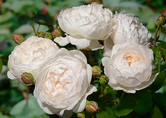 Glamis Castle rose сорт розы фото