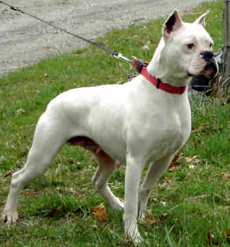 Cute Puppy Dogs White Boxer Puppies