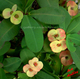 Euphorbia Milii (Crown Of Thorns). Bunga Kancing / Mahkota Berduri.