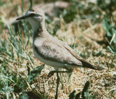Did you know the Mountain Plover doesn't actually live in the mountains?