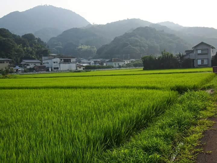 rice paddies in japan