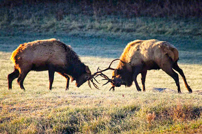2012 Post-Rut Bull Elk Sparring