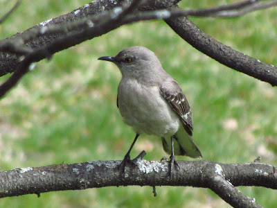 northern mockingbird from spring