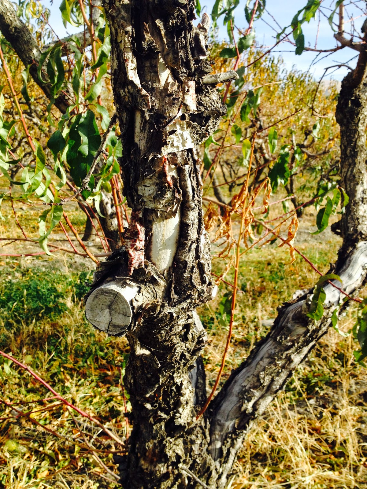 Fruit tree pruning at its best winter bark damage - Protecting fruit trees in winter ...