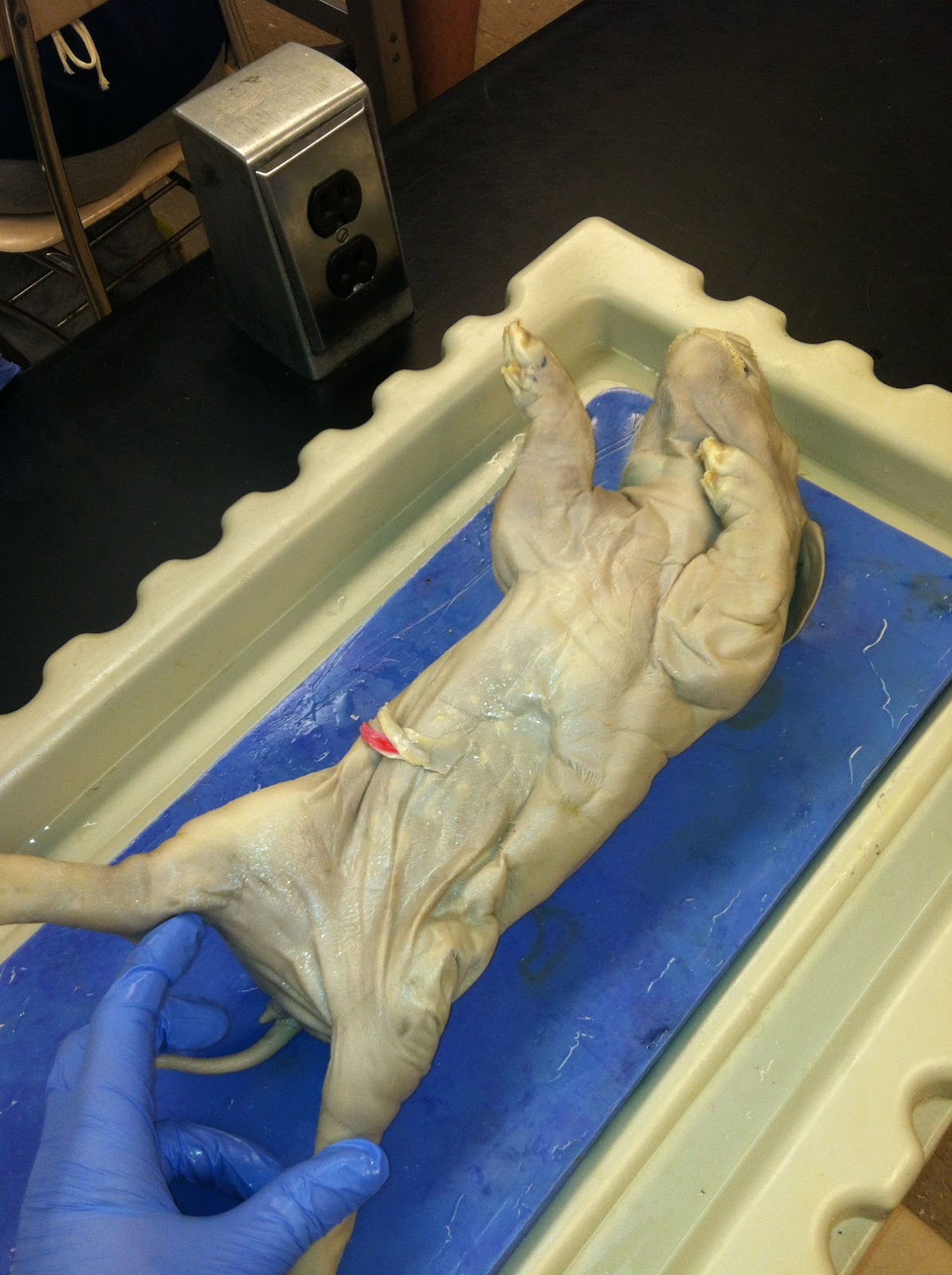 Janeliza\'s Dissection Project: External Anatomy of Fetal Pig
