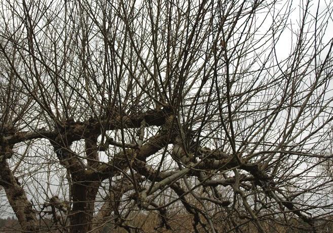 Äppelträdskrona full med grenar