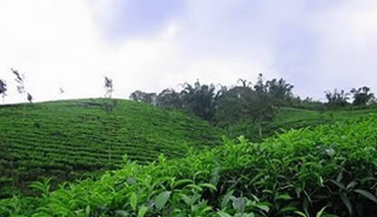Image result for Kebun Teh Bukit Daun