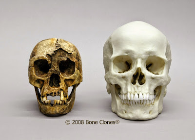 Flores skull and human skull
