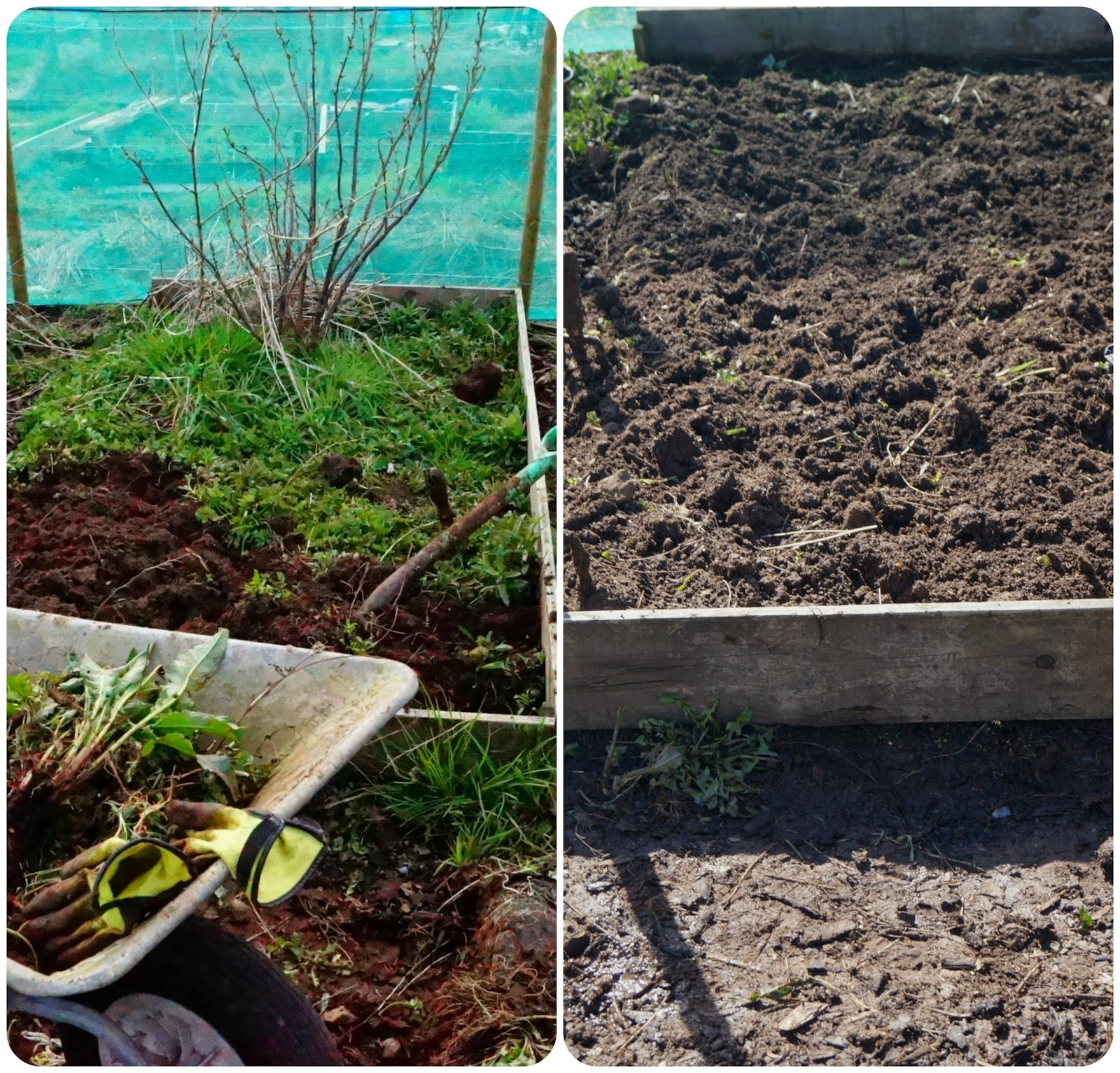 finally cleared! - 'growourown.blogspot.com' ~ an allotment blog