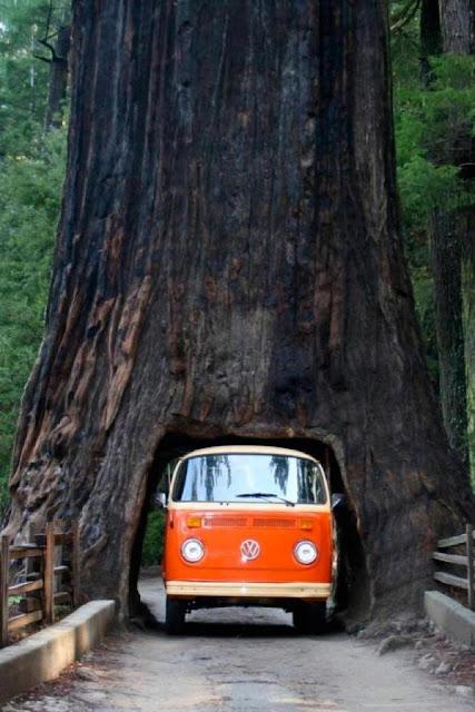 camioneta pasando debajo de un arbol gigante