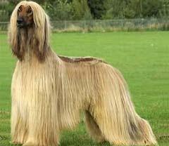 Todas las razas de perros con imágenes
