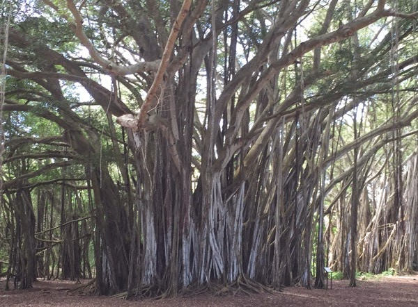 Banyan Tree North Shore Oahu
