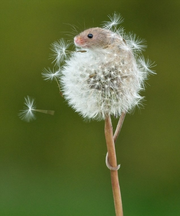 Cutest and tiniest mouse ever, cute mouse pictures, cute mouse, harvest mouse, mouse on dandelion