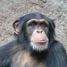 Chimpanzees pictures