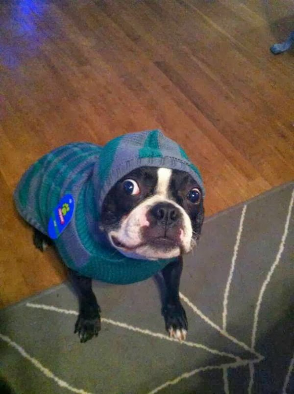 Cute dogs - part 6 (50 pics), dog wearing sweater