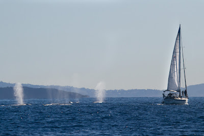 Whales surface close to a boat