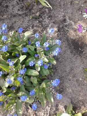 violet miniflowers