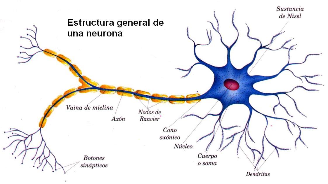 LOS TEJIDOS EN EL SER HUMANO - Mapa Mental