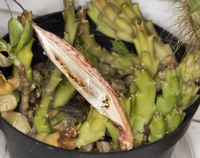 Stapelia variegata seeds emerging from their pod on my windowsill, 31 October 2015.